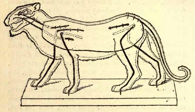 A diagram demonstrating how to wire a lion specimen in Rowland Ward's The Sportsman's Handbook, 1880.