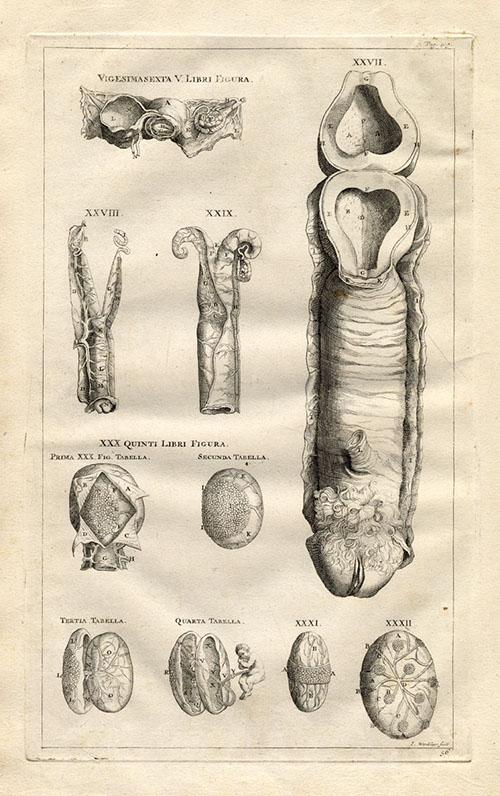A depiction of a vagina (as an unborn penis) from Andreas Vesalius's De Humani Corporis Fabrica, 1543.
