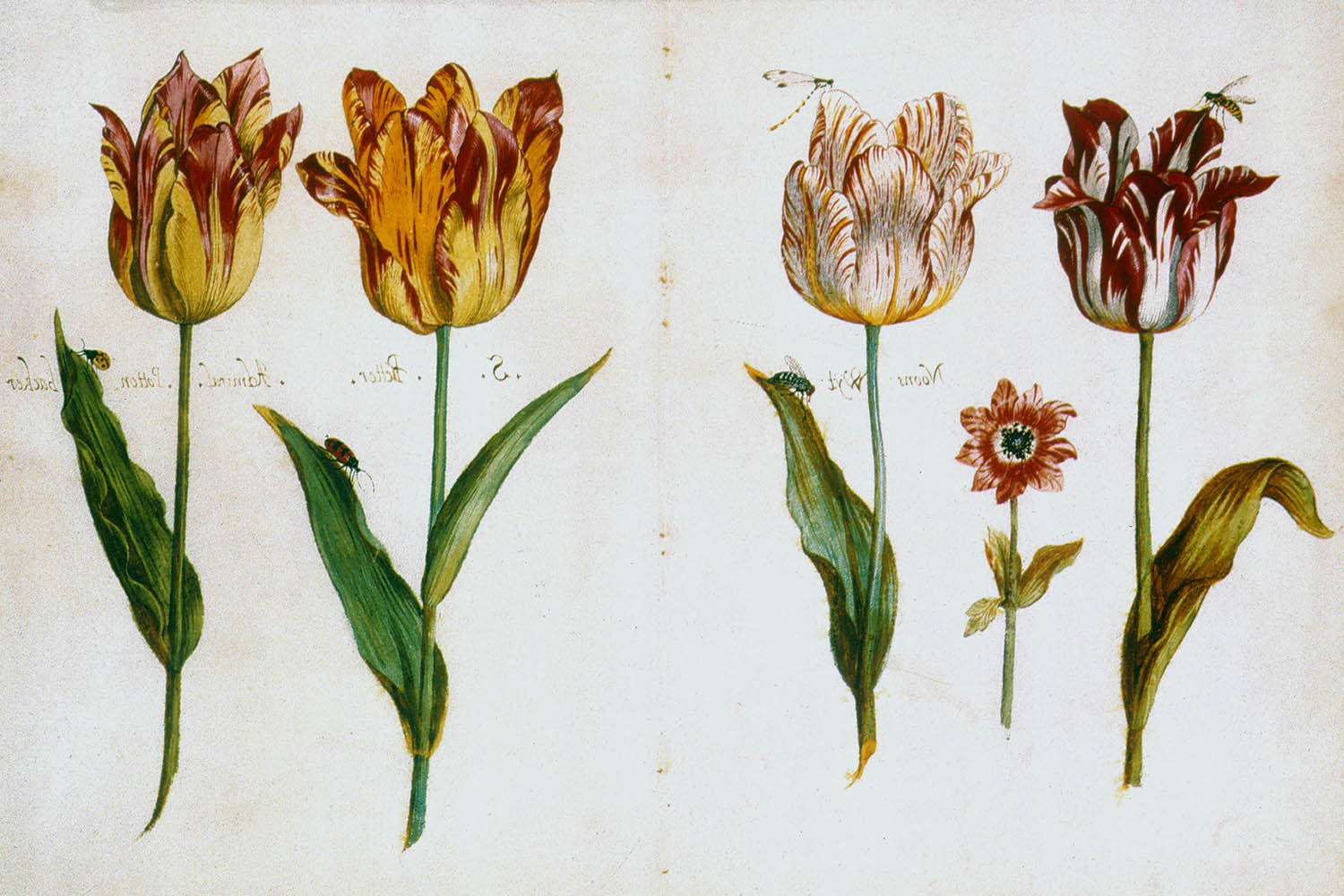 Three tulips and an anemone by Jacob Marrel (1614-1681).