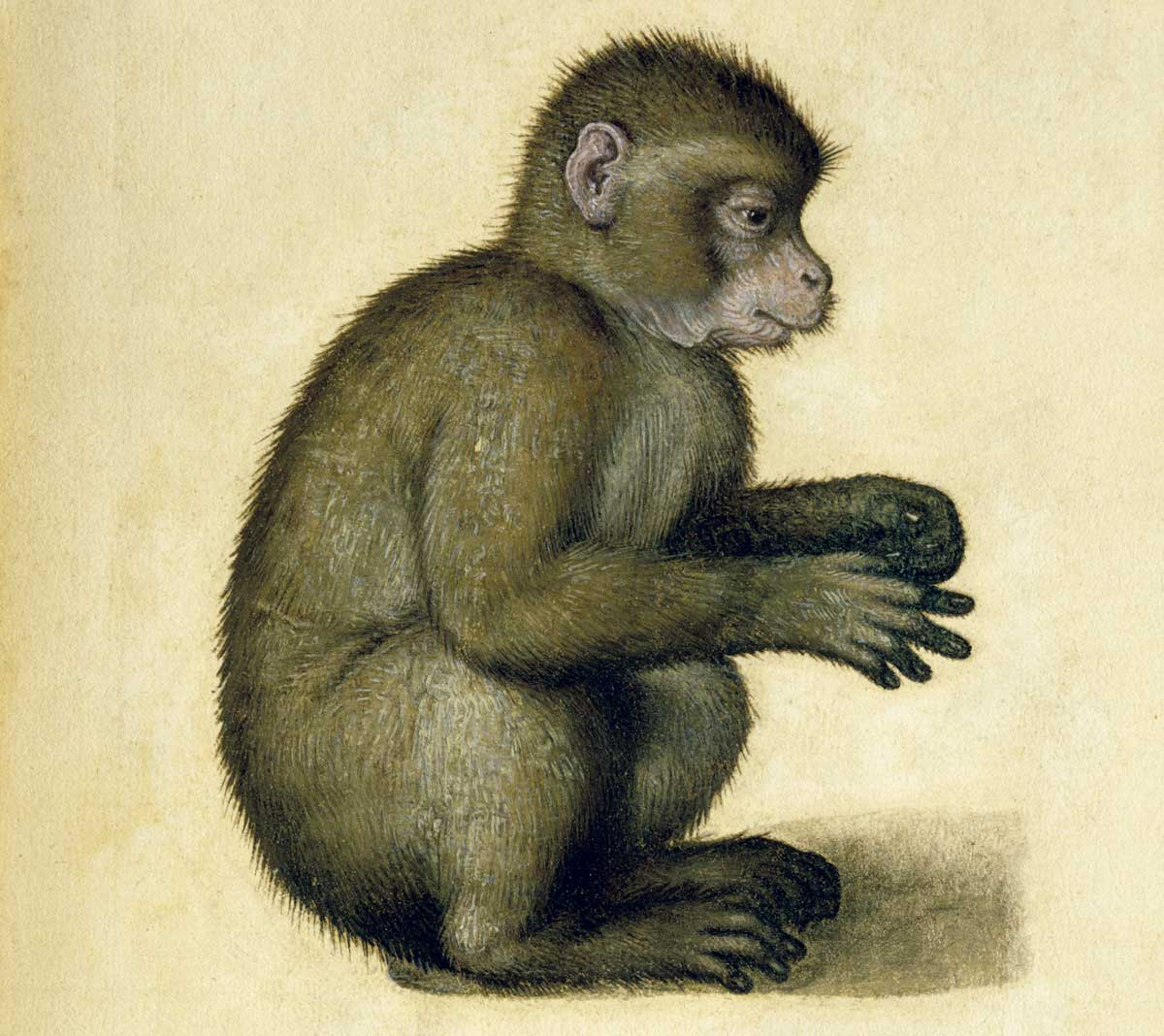 Dürer's monkey, 16th century © Bridgeman Images.