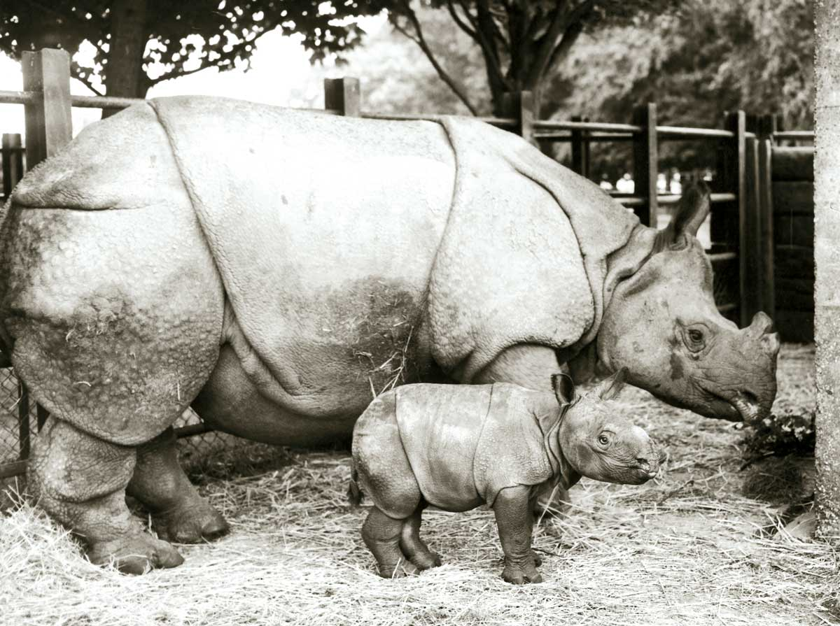 An Indian rhinoceros and  its calf, Whipsnade Zoo, 1960 © Getty Images.