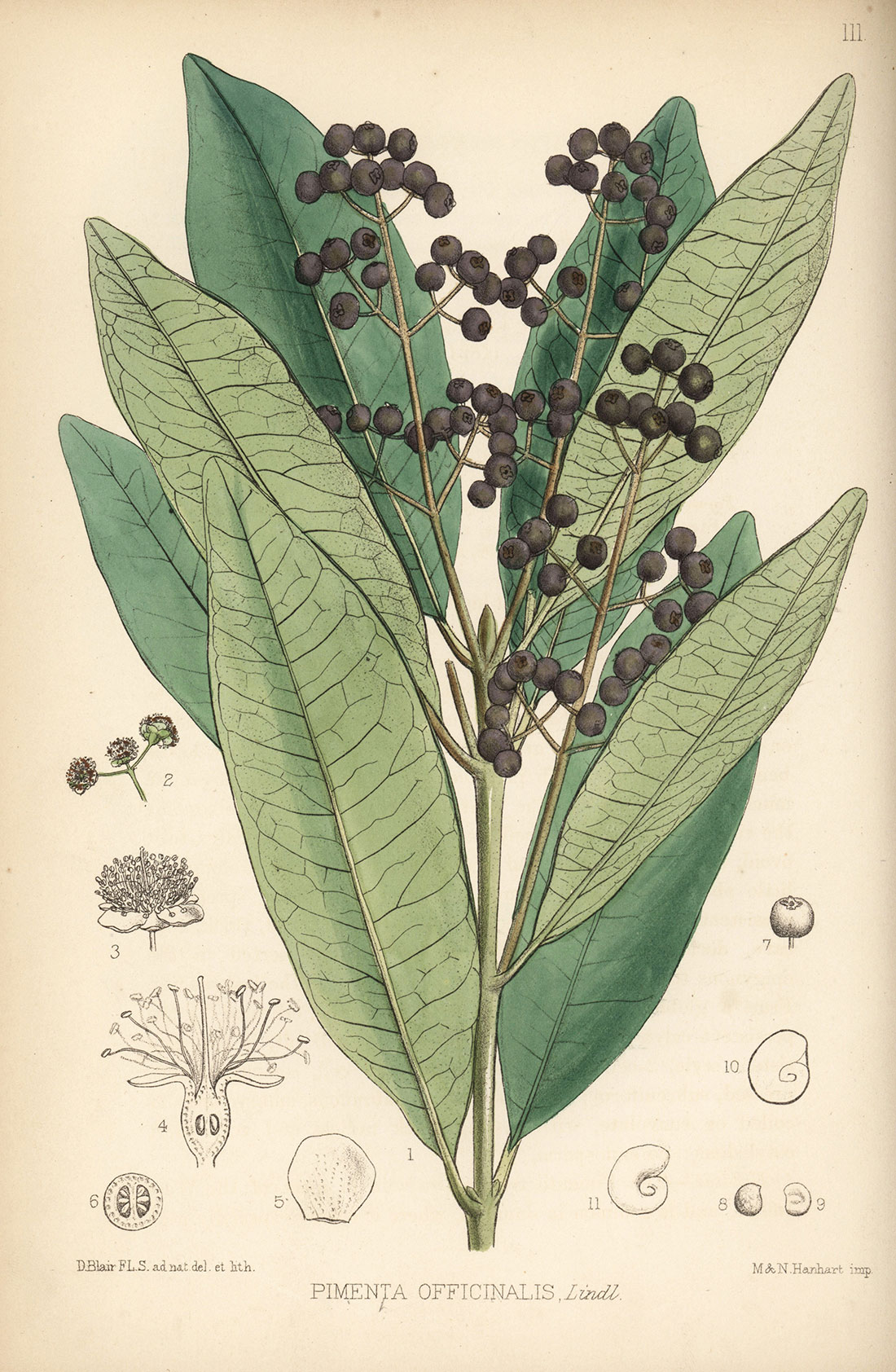 Allspice, or Jamaica pepper. Handcoloured lithograph by Hanhart after a botanical illustration by David Blair from Robert Bentley and Henry Trimen's Medicinal Plants, London, 1880.