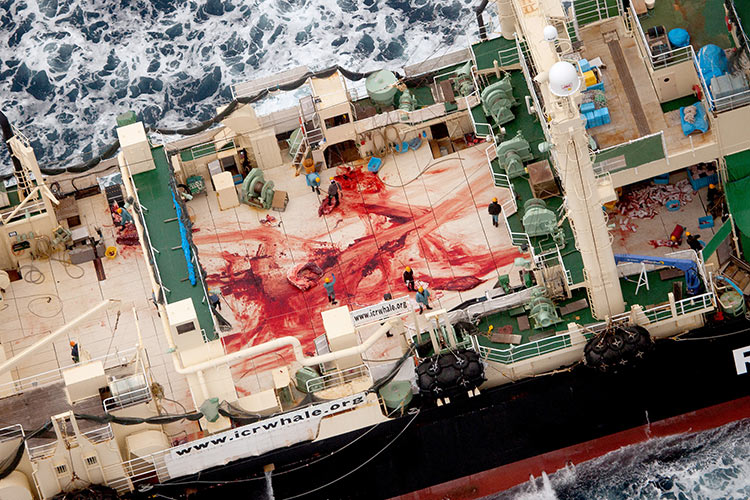 The deck of the Japanese vessel Nisshin Maru, stained from the butchering of a whale, 5 January 2014.