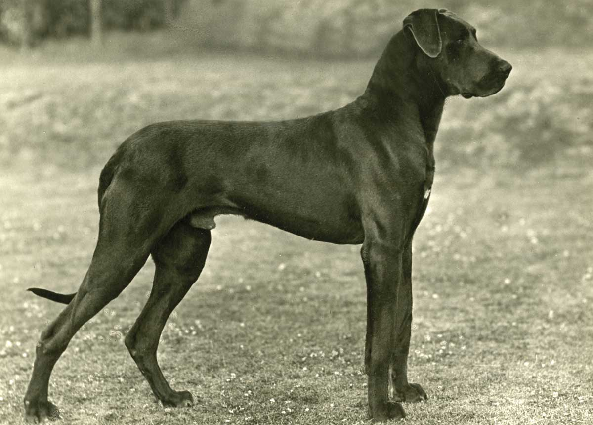 Great dane, 1949 © Mary Evans Picture Library.