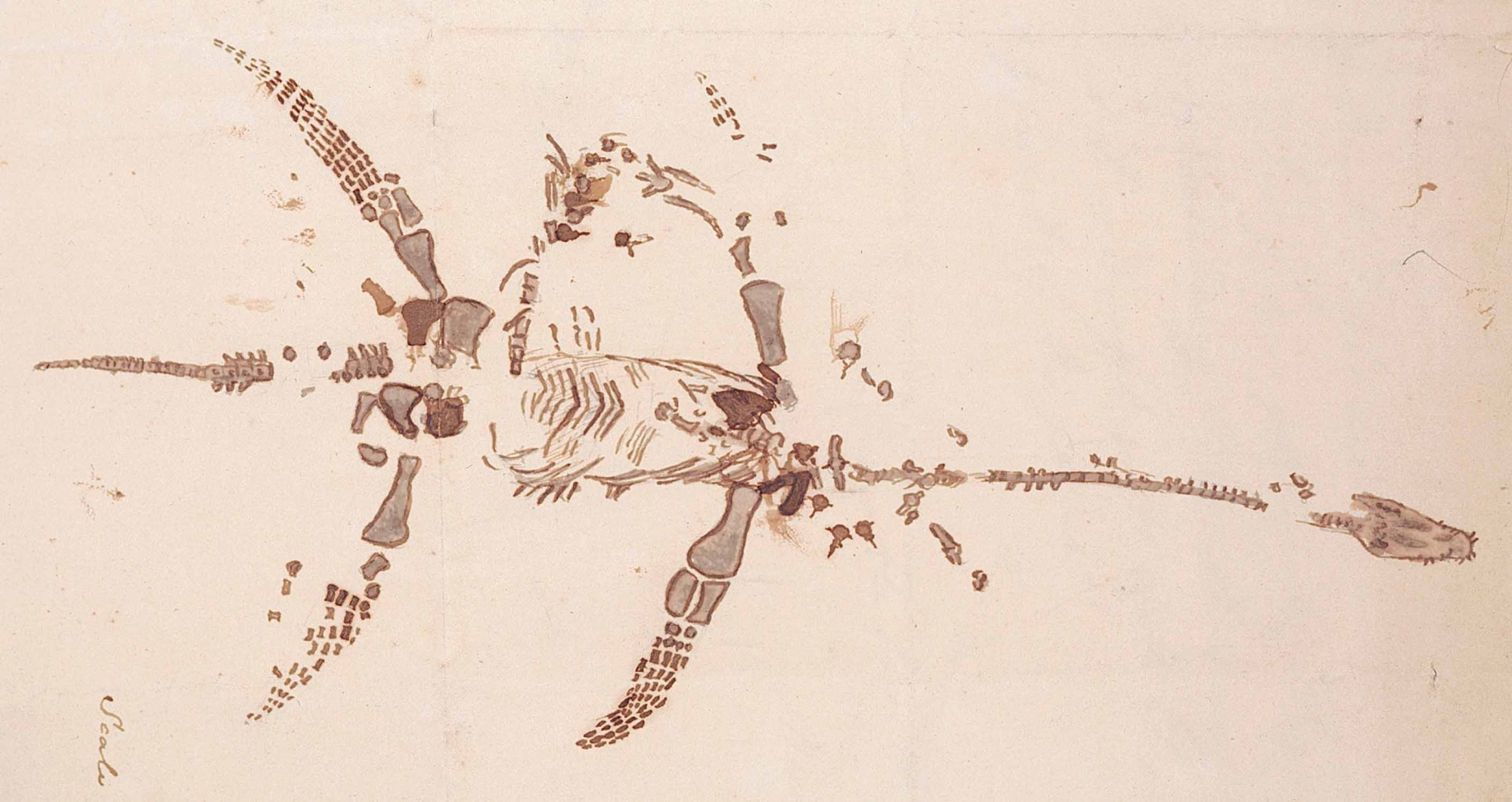 Sketch of plesiosaurus, in a letter from Mary Anning. Wellcome Collection.