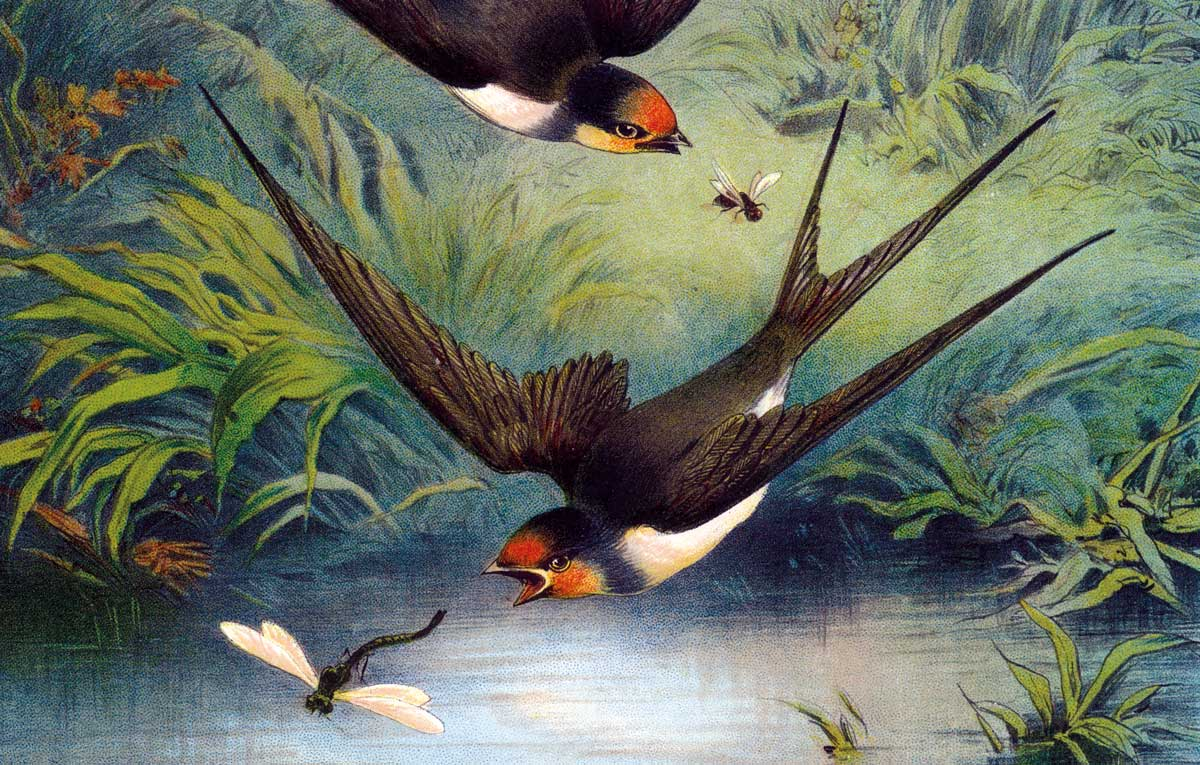 Swallow, illustration by Hector Giacomelli, c.1885 © Bridgeman Images.