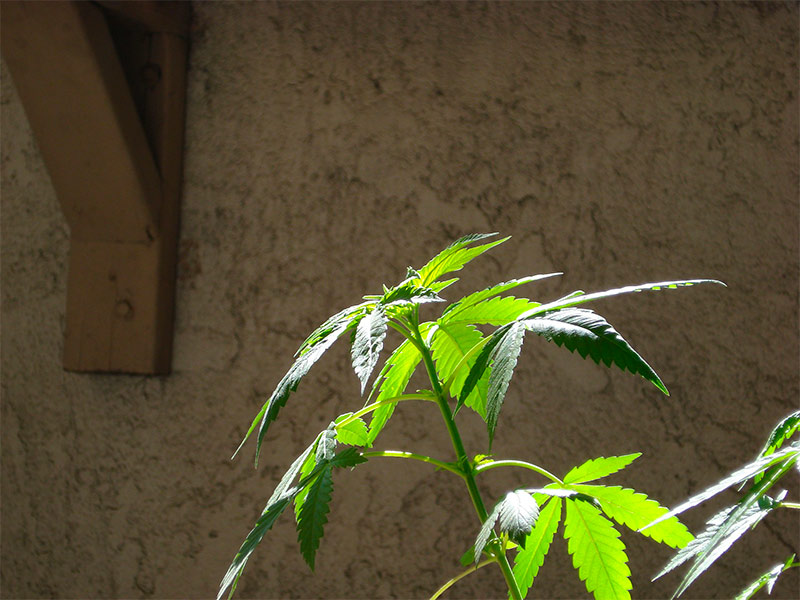 Top of cannabis plant in vegetative growth stage
