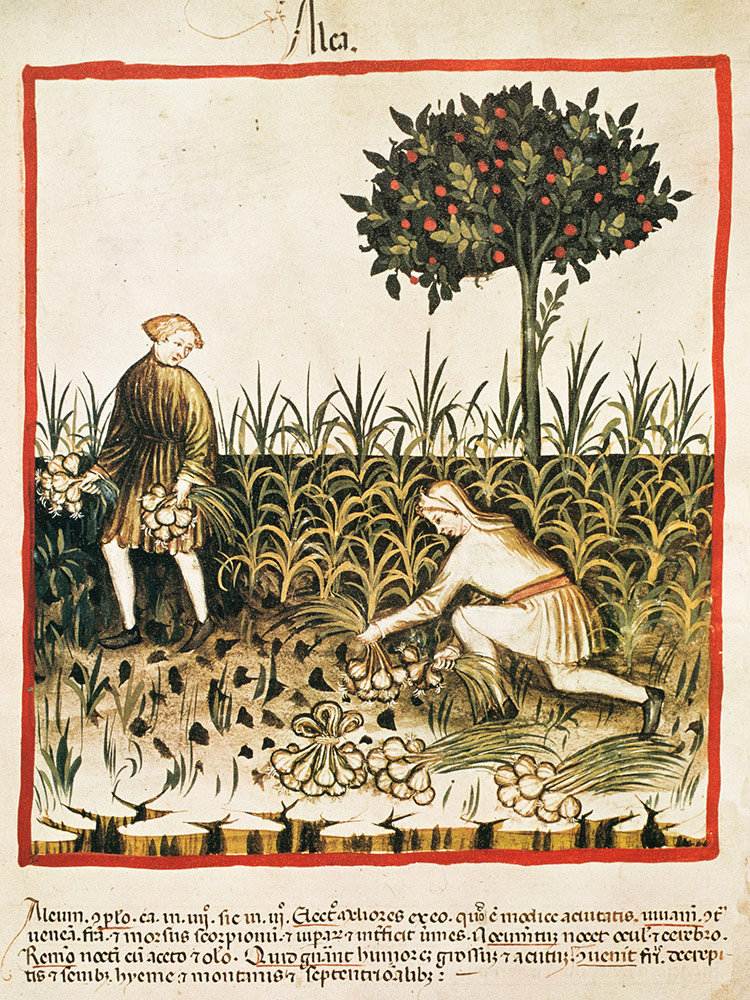 Gathering bulbs: garlic harvested in a Latin version of an Arabic book on health, late 14th century.
