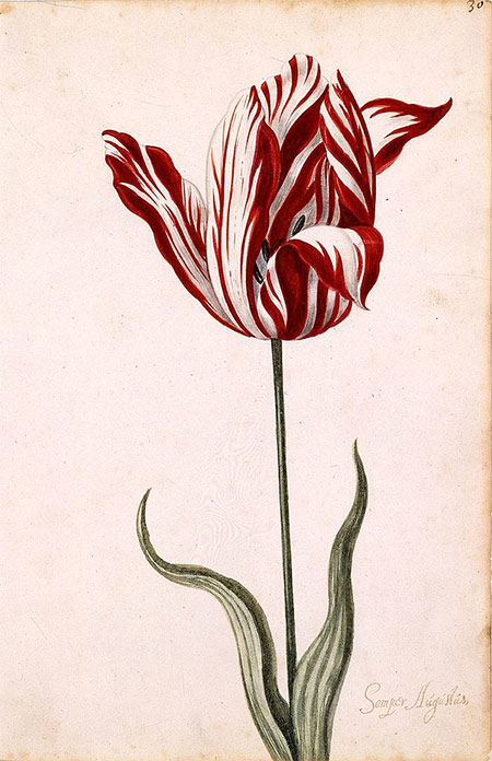Anonymous 17th-century watercolor of the Semper Augustus, famous for being the most expensive tulip sold during tulip mania.