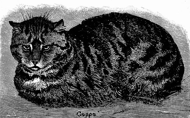 19th-century illustration of a tabby cat