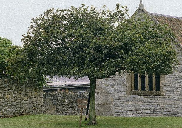 Glastonbury Thorn at Glastonbury Abbey, 1984. This tree died in 1991 and was removed in 1992