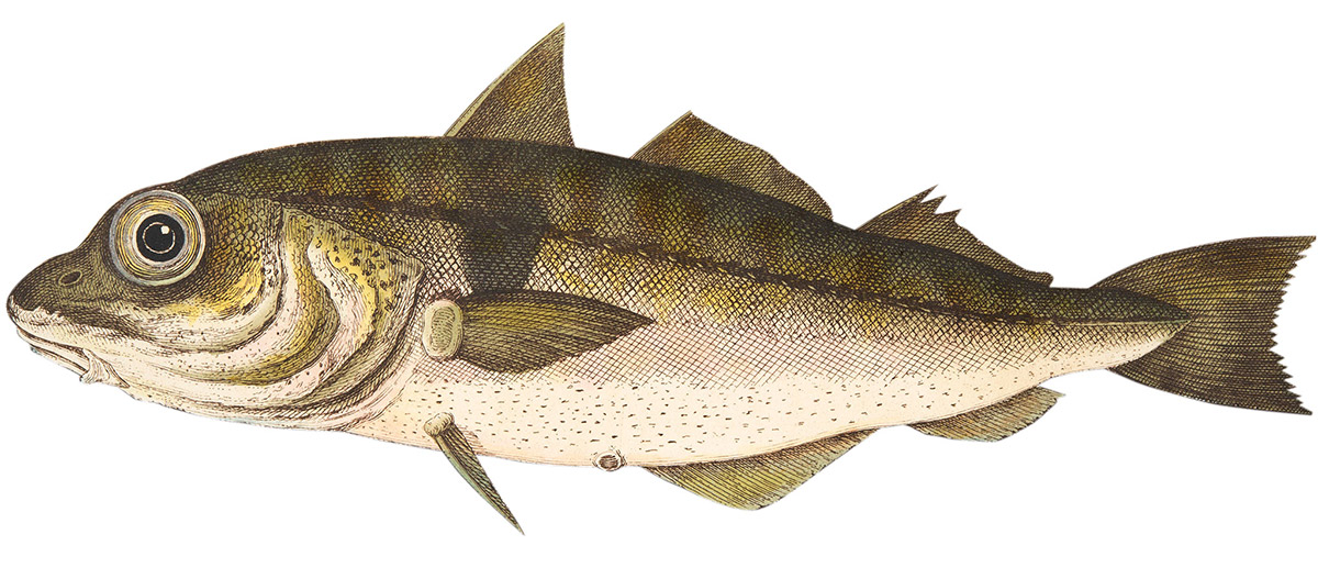 'The Haddock', from A Treatise on Fish and Fish-ponds, published in 1832.