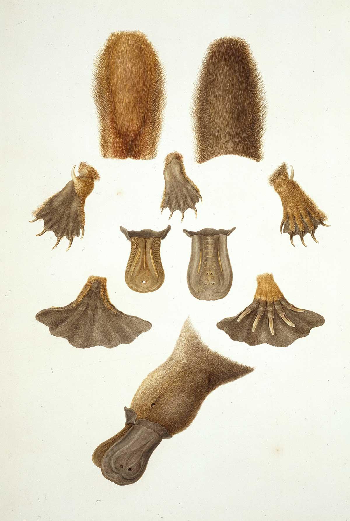Ornithorhynchus anatinus. 19th-century coloured engraving. Alamy.