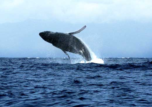 Breaching humpback whale off beach of Lahaina