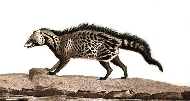 The Civet, an engraving by Simon Charles Miger, France, 1808.