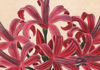 Lambert's Lily: Nerine sarniensis, illustration by Pancrace Bessa, 1820. © Bridgeman Images