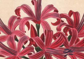 Lambert's Lily: Nerine sarniensis, illustration by Pancrace Bessa, 1820. © Bridgeman Images
