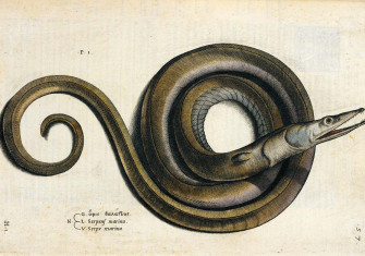 An eel, probably a serpent eel, from Aquatilium animalium historiea, liber primus, by Ippolito Salviani, 1554 © British Library Board/Bridgeman Images.
