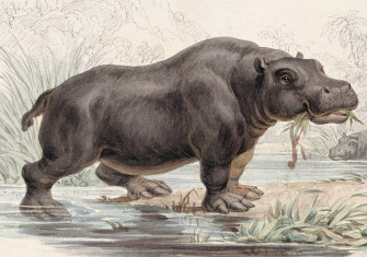 Hippopotamus amphibius, an illustration from William Jardine's The Naturalist's Library, 1833-43.