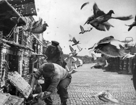 Under starter's orders: a pigeon race begins in Northallerton, Yorkshire, 1953.
