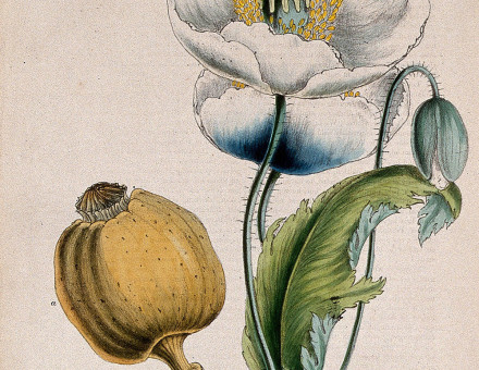 Opium poppy, white flowers and seed capsule, about 1853, after Miss M.A. Burnett.